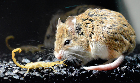 Grasshopper_mouse_scorpion