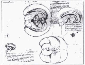 Esbossos del cervell per Leonardo da Vinci