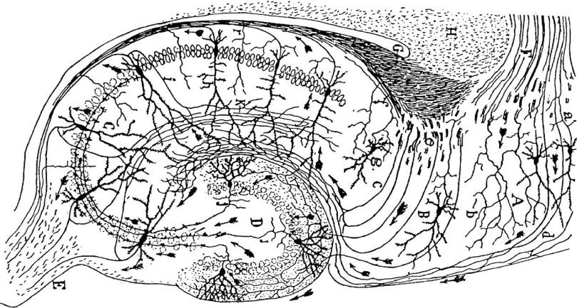 cajalhippocampus1-e1514046799827.jpeg